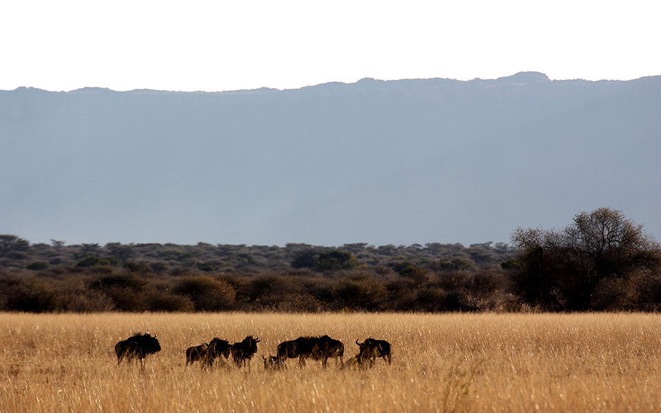 Blue wildebeest at the Waterberg