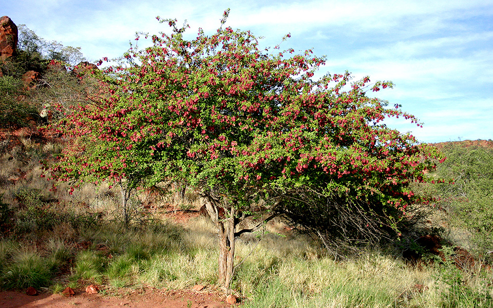Purple-pod terminalia at the Waterberg