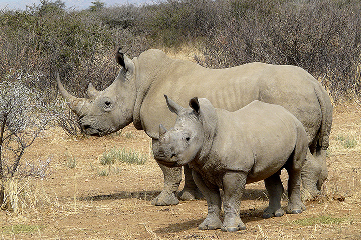 The plateau of the Waterberg is also home to white rhinos like these.